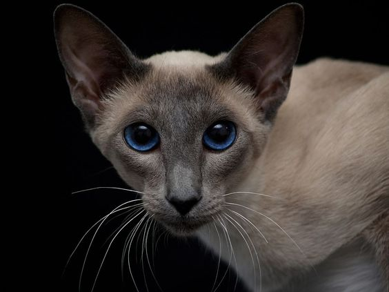 Modern Siamese Blue Point Siamese Cats Blue Point Cats Siamese Cats