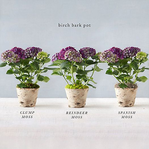 Build Your Own: Potted New Wine Hydrangea