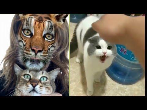 مقاطع تجميعية مضحكة للقطط 2020 الضحك حتى البكاء Youtube Cats Animals Gatos