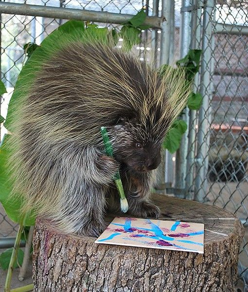 At the Houston Zoo in Texas, a porcupine paints for enrichment. You can paint us a masterpiece anytime, Mr. Porcupine!: