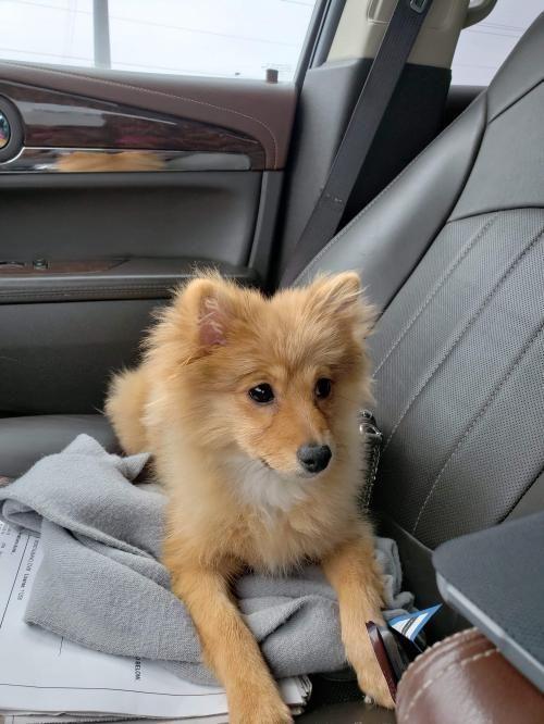 Dogs For Adoption Petfinder Dog Adoption Dogs Pomeranian Breed