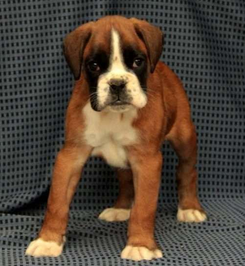 Boxer Puppies For Sale Las Vegas Nv With Images Boxer Puppies Boxer Puppies For Sale Puppies For Sale