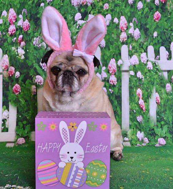 Happy Easter from Bailey Puggins! #pug #dog #Easter #pets #bunny #ears #costume #Spring #animals