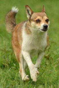 Lundehund  Conocido como el Lundehund Noruego, es una raza de perro de tipo Spitz bastante pequeña. Su particularidad esta en la unión de sus huesos. Estas hacen que su movilidad sea muy amplia hasta el punto de entrar por pasadizos pequeños y estrechos donde otros perros no podrían entrar aunque tuviesen el mismo tamaño. Son capaces de girar la cabeza hacia atrás sobre la columna vertebral y doblar las patas 90 grados como los brazos de los humanos.    Ademàs posee 6 dedos en sus patas...!