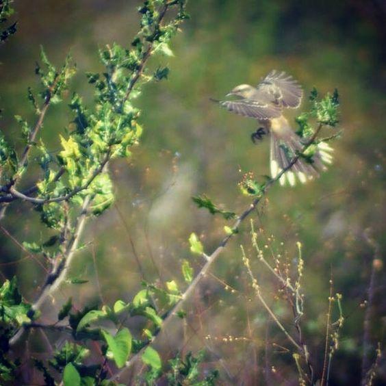 Pássaro - Sabiá - Sertão - Nordeste - Caatinga