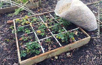 makkelijke-moestuin-blog/aardbeien-winter