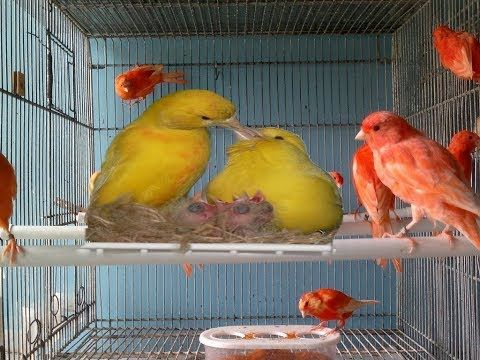 دورة كيف تجعل طيور الكناري تتزاوج كيف تختار ذكر وانثى جيدة الحلقة الأولى Youtube Animals Birds Parrot