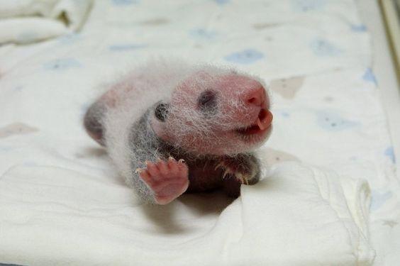 Yuan Yuan und Tuan Tuan haben eine Tochter, die 2013 geboren wurde. Das Bild...