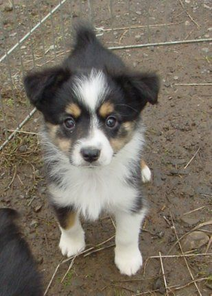 Toy Australian Shepherd. I want one so bad!!