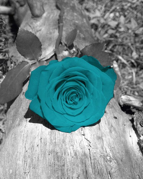 Black white teal rose on log photography wall by for Color splash wall art
