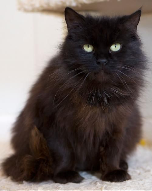 Adopt Cotton On Petfinder Cat Adoption Cat Website Long Haired Cats