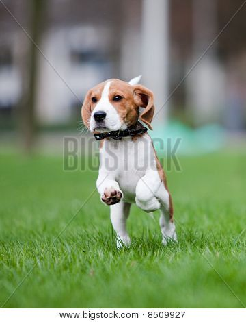 Puppy Jumping And Running Poster Running Posters Beagle Puppy