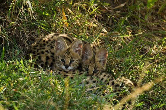"""Definitely not """"Big 5"""", but even harder to spot! Servals at Kicheche in the Maasai Mara. Photo by Paul Goldstein"""