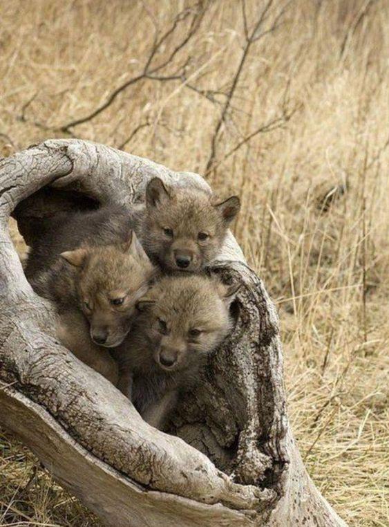 Wolf pups waiting for mum