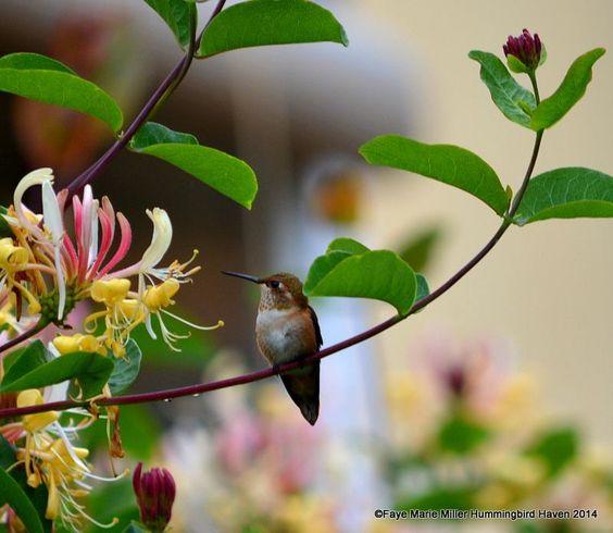lod colibries sonmágicos