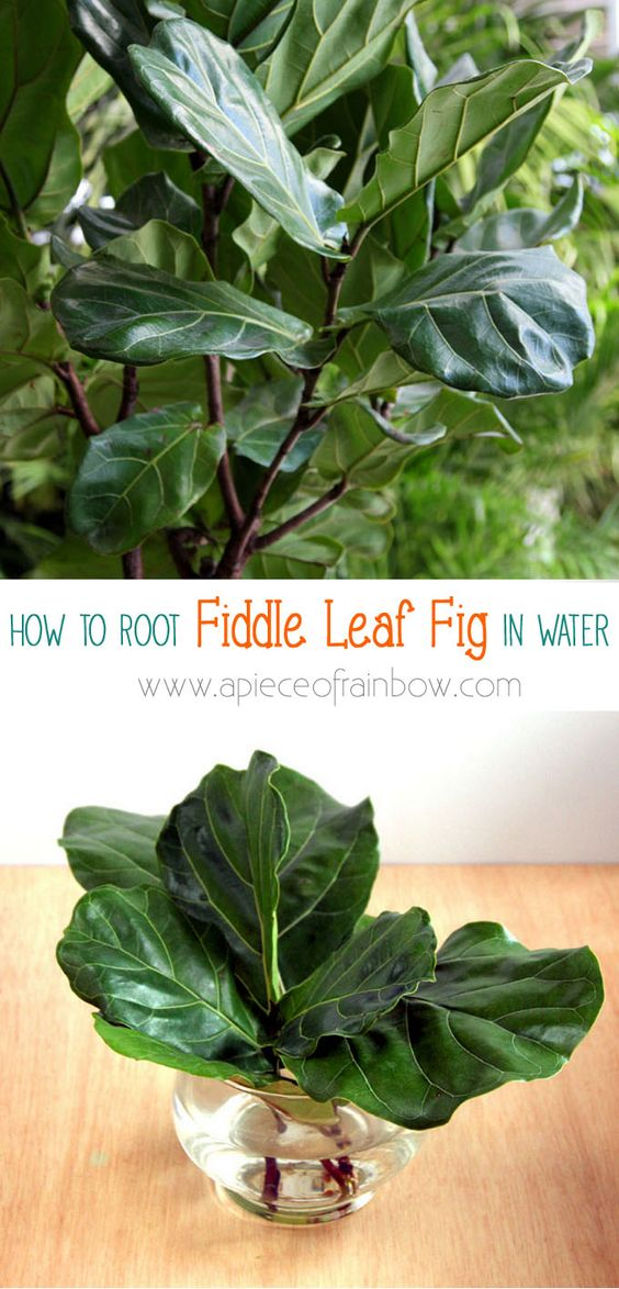 How to root Fiddle Leaf Fig from stem or leaf cuttings! Now you can have the one of the most gorgeous indoor plants and propagate it for every room! - A Piece Of Rainbow