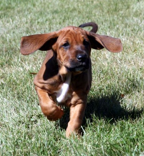 Redbone Coonhound | Pictures, Information, and Reviews