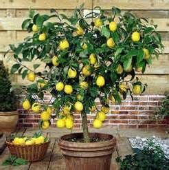 mooi zo'n citroenboompje voor in huis