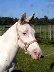 Snowflake is an adoptable Donkey Donkey in Dansville, MI. It's not often that we get Snowflakes in August but this year we did! What a nice girl this lovely molly mule is. Snowflakes is a very sensibl...
