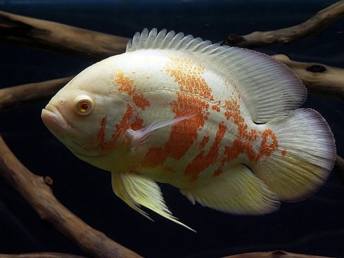 Astronotus Ocellatus Albino South American Cichlid Tiger Oscar Fish Oscar Fish Tropical Fish Aquarium