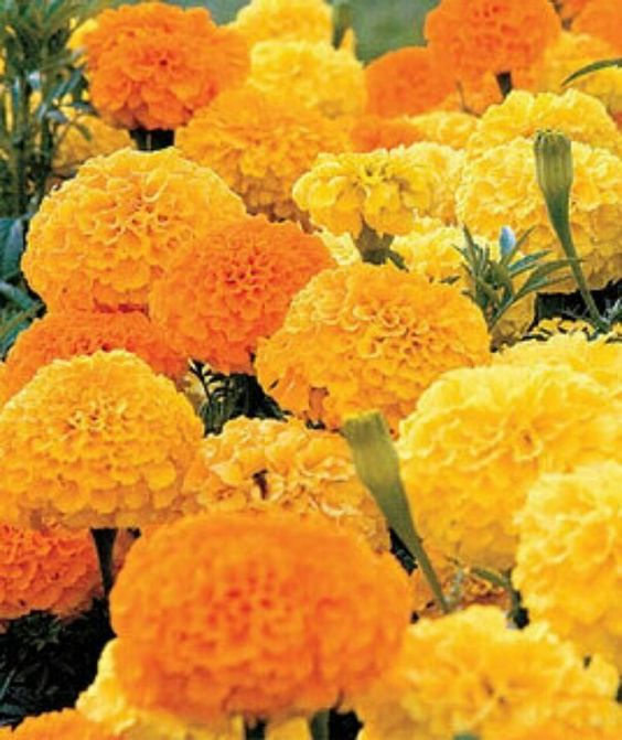 Marigolds! THEY KEEP AWAY MOSQUITOS AND SNAKES!