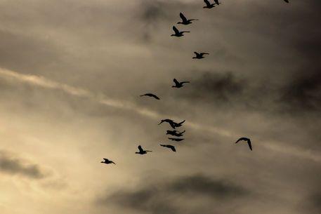 'Flight of geese - Flug der Gänse' von Bernd  Kasper bei artflakes.com als Poster oder Kunstdruck $16.63