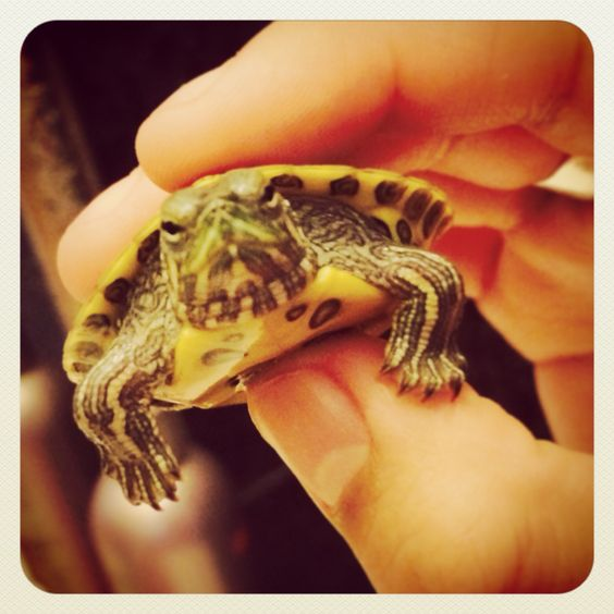 Small Baby turtle