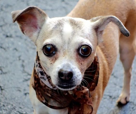 ★9/16/15 STILL THERE!★SUPER URGENT 9/4/15★ Manhattan Center KATIUSCA – A1050360 FEMALE, TAN / WHITE, CHIHUAHUA SH MIX, 11 yrs STRAY – ONHOLDHERE, HOLD FOR ID Reason STRAY Intake condition UNSPECIFIE Intake Date 09/04/2015