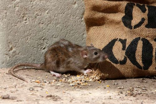 Some Effective Remedies Embarked By Rat Control Atlanta Services Rat Control Mice Control Rodents