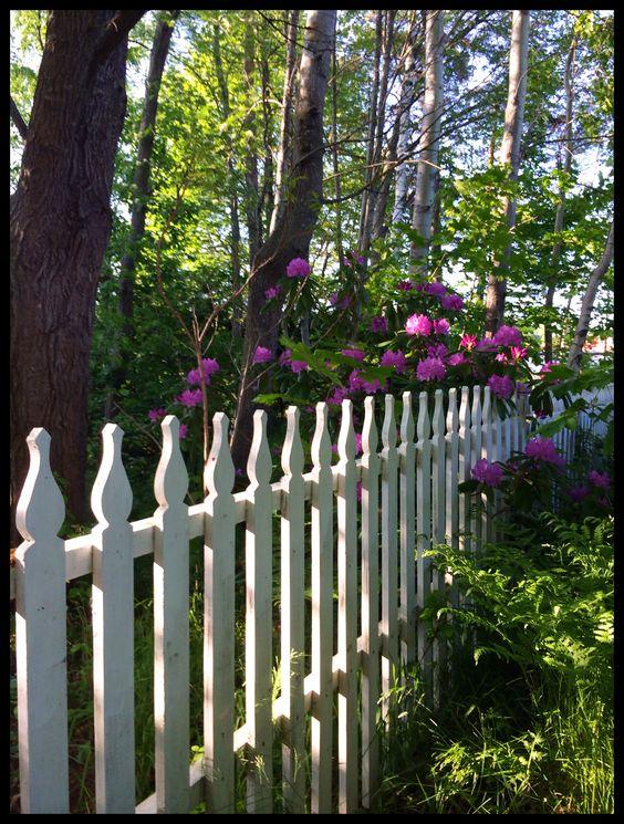En romantisk och lantlig idyll med vitt staket och rhododendron ...
