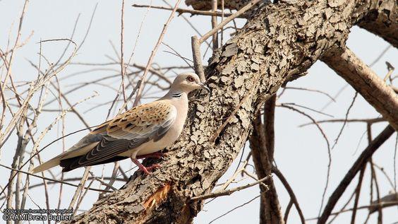 Tourterelle des bois - European turtle Dove - Streptopelia turtur - by ... Endemic Species Nicobar Pigeon
