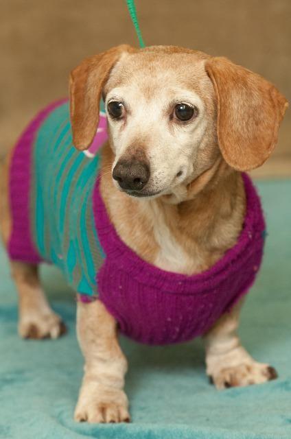 Dachshund dog for Adoption in Johnson City, TN. ADN-464464 on PuppyFinder.com Gender: Male. Age: Senior