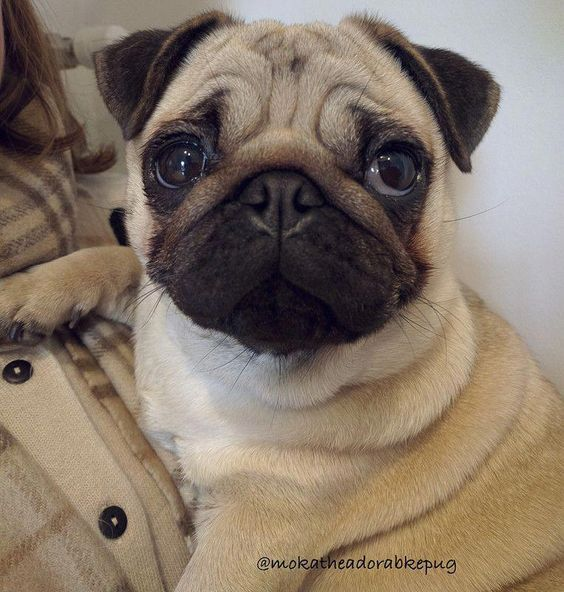 Look At That Cute Face Baby Pugs Baby Pug Dog Cute Dogs
