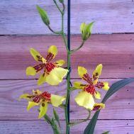 Orquídea Oncidopsis Pacific Cameo - Botão/Flor