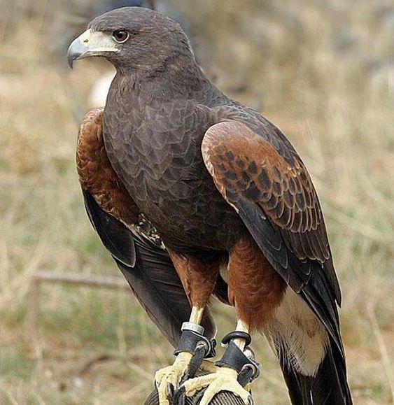 صور حيوانات 2020 شاهد جميع صور الحيوانات البرية و الأليفة Raptors Bird Birds Of Prey Eagle Pictures