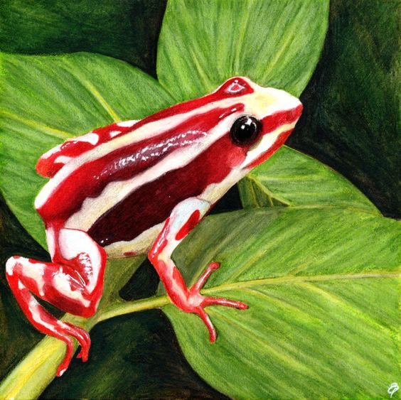 Phantasmal poison dart frog by Liz Powley. My first attempt with Derwent Inktense pencils.