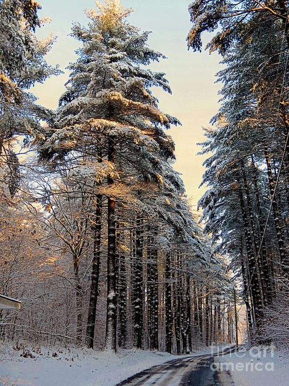 ✮ Tall snowy pines