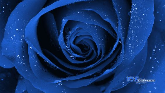 Blue Rose [wallpaper]