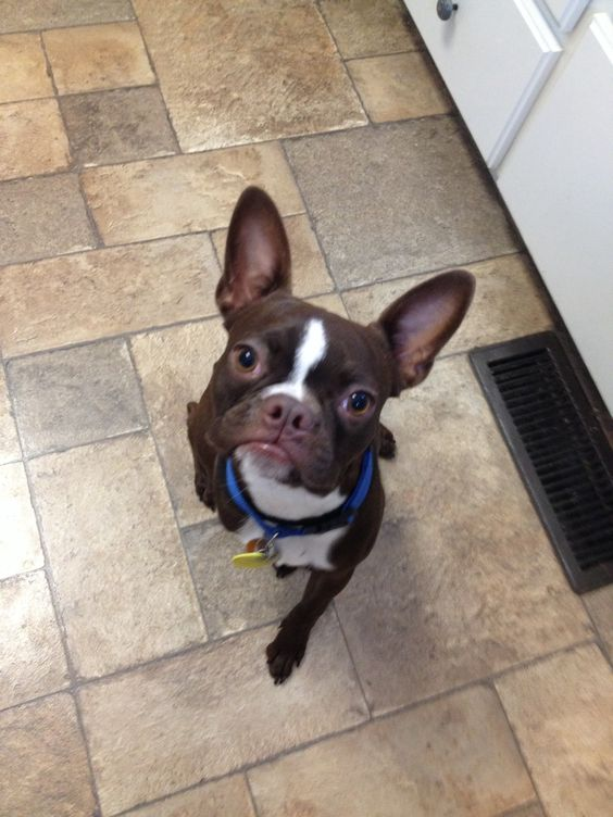 Buster Brown is our first foster w Boston Terrier Rescue of North Carolina. He's being rehomed to his forever home on Labor Day. Going to miss him and his antics. My other dogs won't miss him so much!  :-)