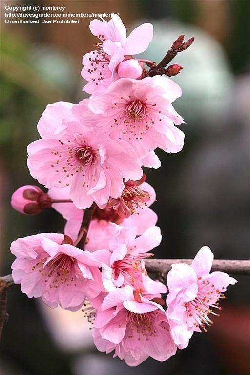 Clearance Sale Flowering Cherry Tree Fast Growing Trees Flowering Trees
