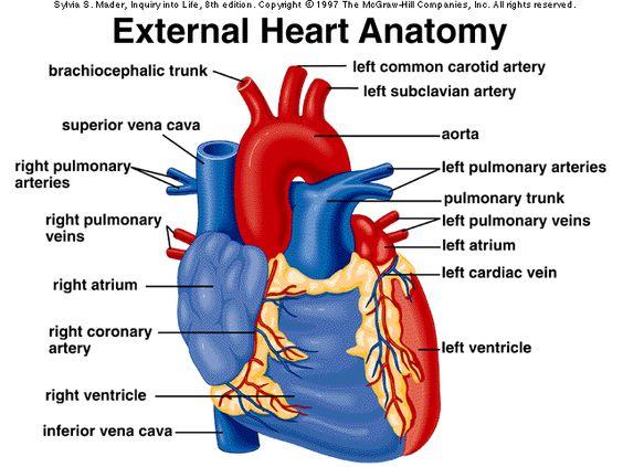 External Heart Anatomy Diagram | School | Pinterest ...