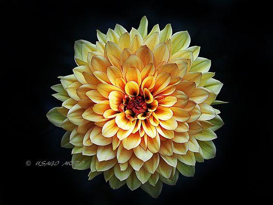 Shadow Veil... - Chrysanthemum © 2015 Usagi Moti Photography All photo rights are reserved ©Usagi Moti.