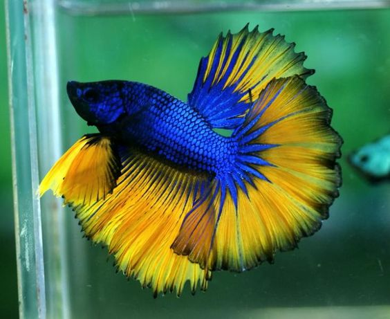 Blue and yellow betta fish - photo#4