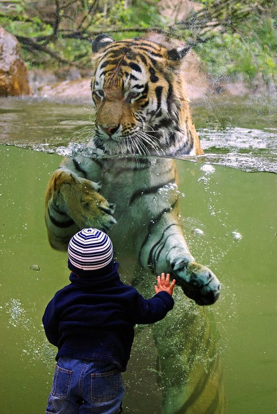 """A tiger at a zoo interacts with a visiting child. Photo """"Fearless"""" by Katja (~Katzilla13 on deviantART)"""