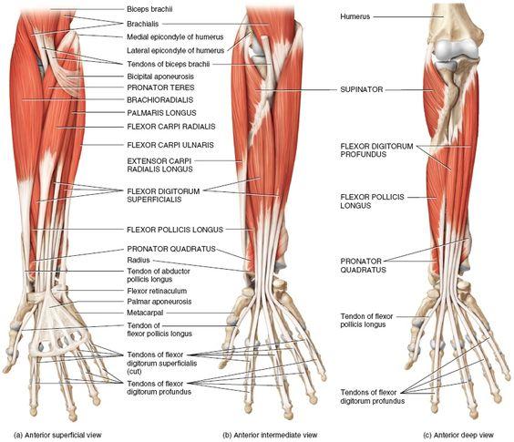 Wrist anatomy muscles