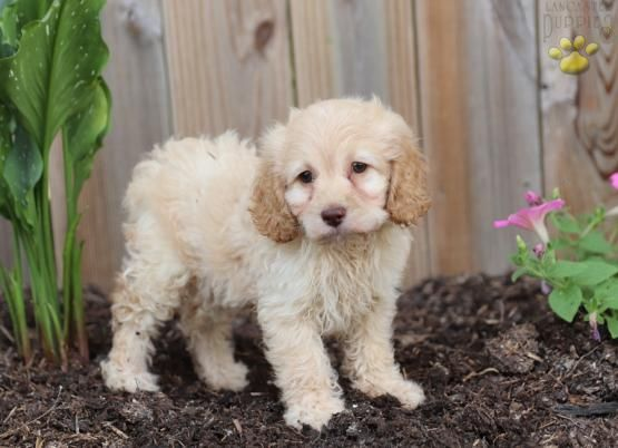 Kelly Cockapoo Puppy For Sale In Narvon Pa Lancaster Puppies