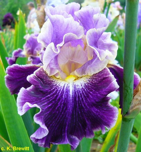 Tbbellefille Tbathrue Iris Wiki Floral Fragrance Iris Garden Floral Scent