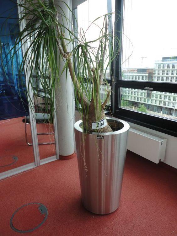 1 Büropflanze | Dechow Auktionen