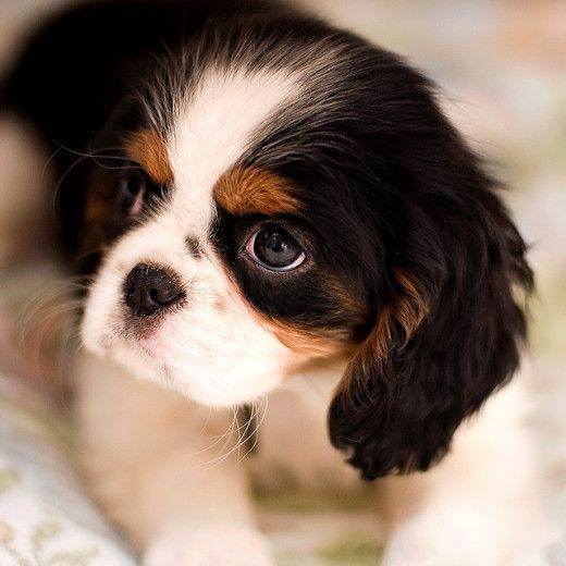 Cavalier King Charles Spaniel Graceful And Affectionate Charles Spaniel Cavalier King Charles King Charles Dog