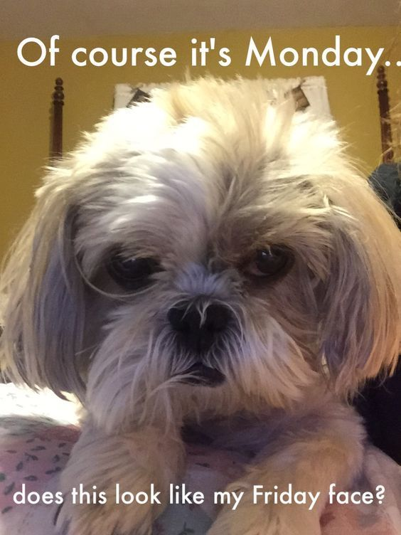 18 Best Shih Tzu Memes Of All Time The Paws Shihtzu Shih Tzu Puppy Funny Dog Memes Shih Tzu Grooming